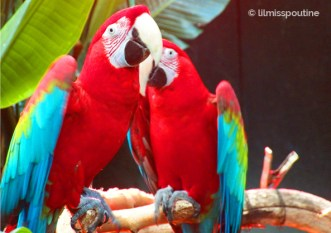Green-Winged Macaw Sisters