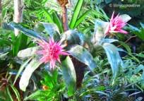 Silver Vase Bromeliads