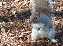Eastern Grey Squirrel, inquisitive