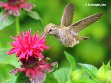 Anna's Hummingbird and Bee Balm