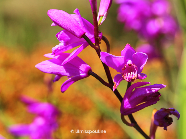 Chinese Ground Orchids (bletilla striata)