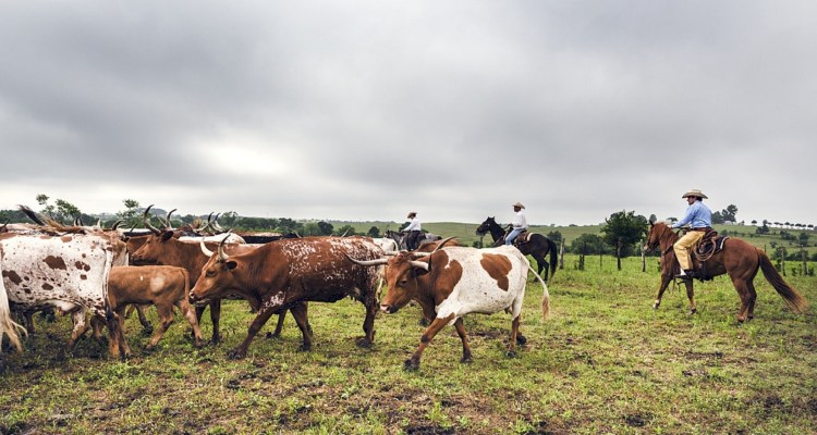 cattle-drive-793676