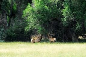 elk eating