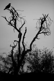 Crow Web