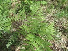 Cave Springs ferns