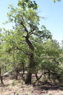 Rocky Ridge old oak tree