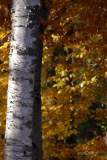 Sun-lit Birch Trees @ Sleeping Bear