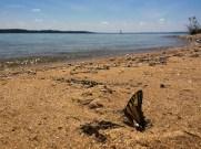 Swallowtail Butterfly Beach