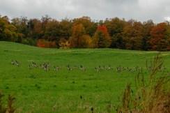 Geese_Gathering
