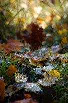Leaves_Grass_Dew