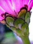 Pink Zinnia Scales