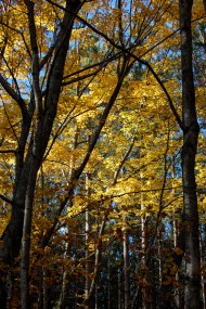 Backlit Yellow Leaves