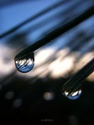 Pine_Needle_Dew_Droplets