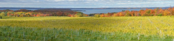 Autumn Vineyard Pano