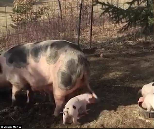 The excited little piglet jumps up and down wagging its mother's tail at a farm in Middleville, Michigan