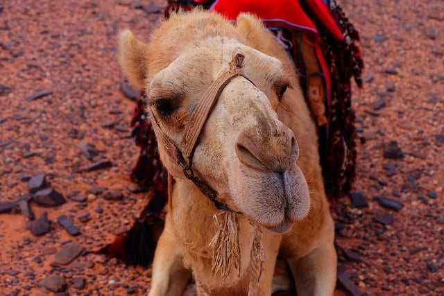 Sally the Camel in Wadi Rum - How Safe is Jordan