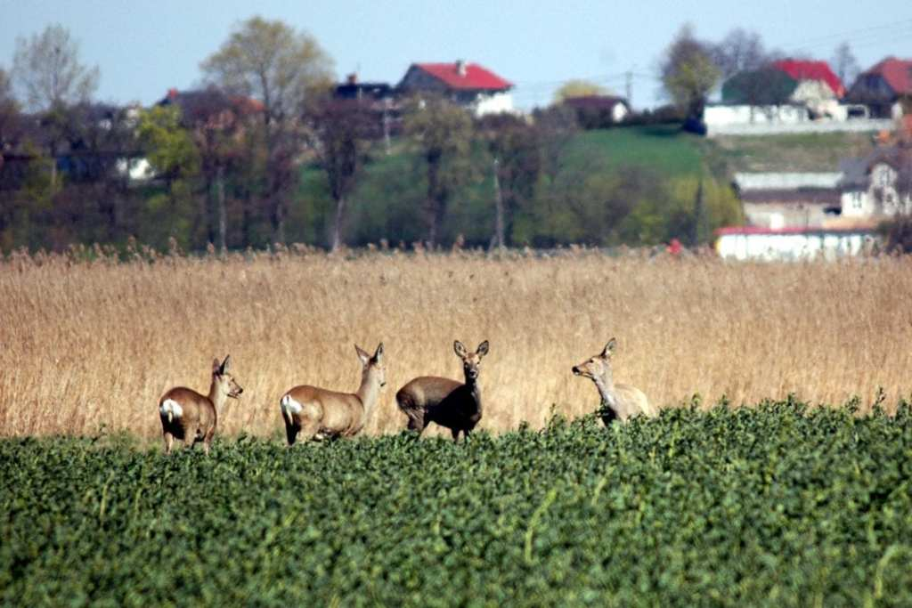 Deer Spotting - One of the Strange Reasons to Visit Poland