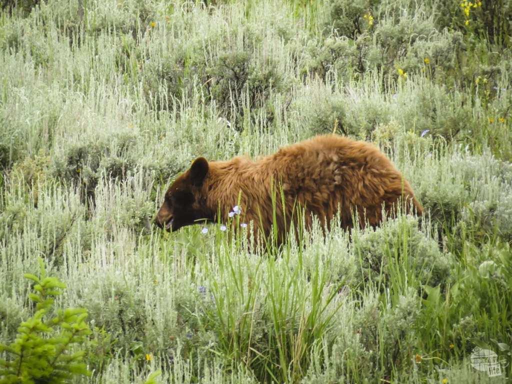 A cinnamon black bear on Beavers Pond Trail - A 7 Week RV Trip Through the American West