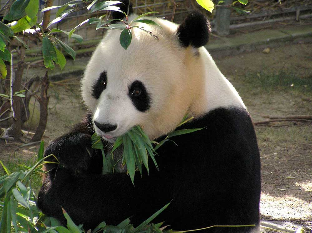 Visiting the Giant Pandas in Beijing