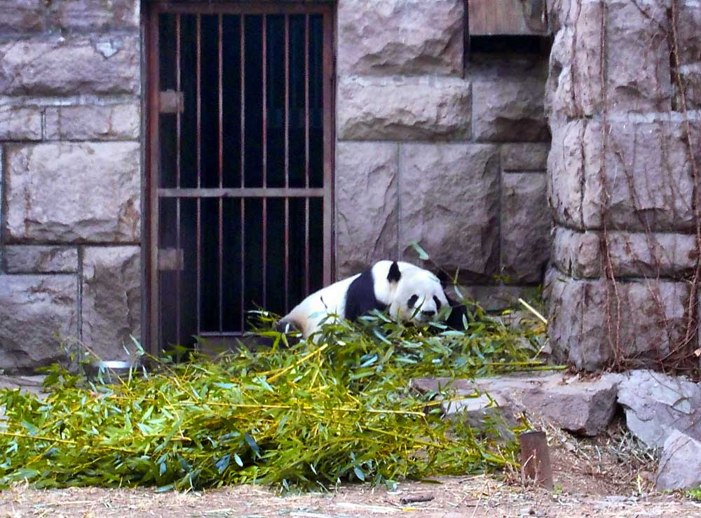 A Giant Panda Lying in a Pile of Bamboo at the Beijing Zoo - How to Visit the Giant Pandas in Beijing