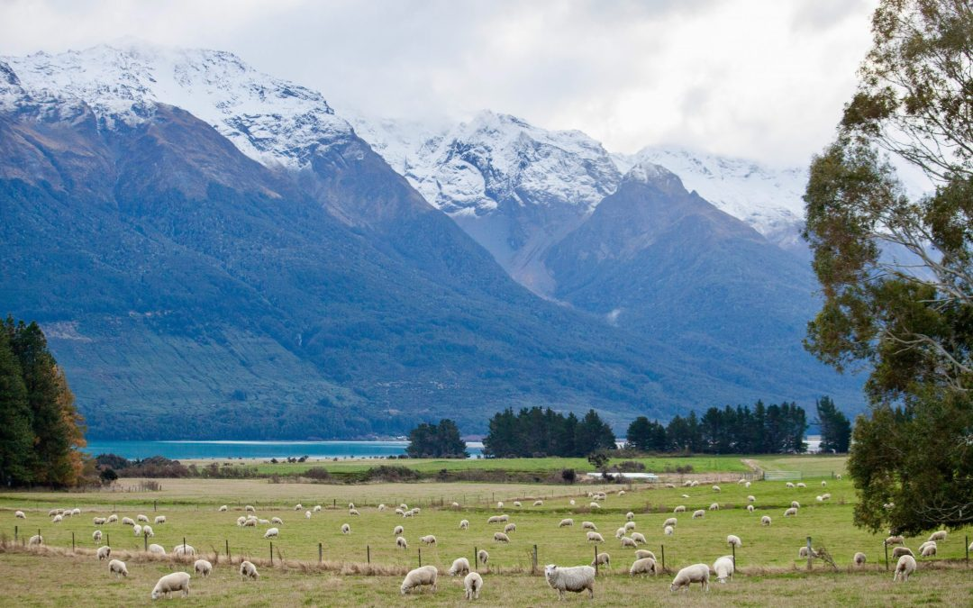 Sheep on the road to Glenorchy