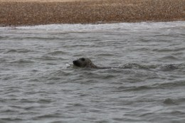seal photo Blakeney Point