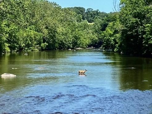 deer crossing a river