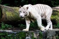 Bialy tygrys bengalski