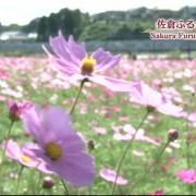 Tulip Jepang Cut Corona