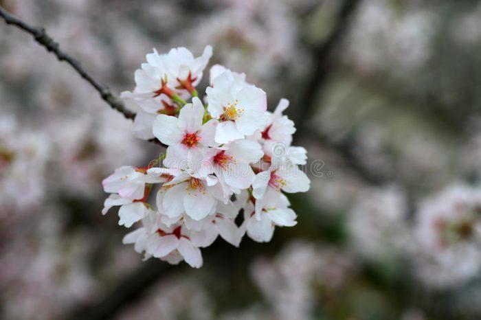 Mengenal Bunga Sakura, Tumbuhan Paling Ikonik saat Musim Semi di Jepang 4