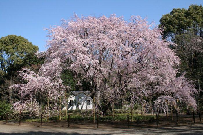 Mengenal Bunga Sakura, Tumbuhan Paling Ikonik saat Musim Semi di Jepang 7
