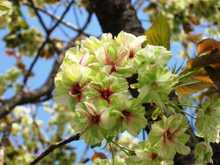 Mengenal Bunga Sakura, Tumbuhan Paling Ikonik saat Musim Semi di Jepang 8