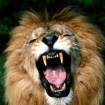leon-rey-de-la-selva-300x224