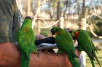Three birds perched on man's arm looking at his phone at Tanganyika