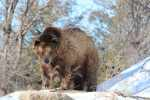 See the grizzly bear and more during Winter Wednesdays at the Sedgwick County Zoo