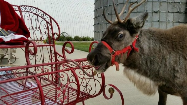 A Fulton Valley Farms reindeer saying hi to the camera!