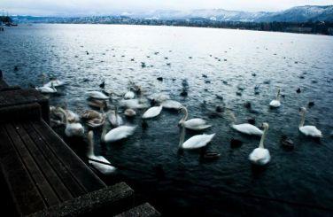 Swan Lake-Zurich