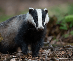 Badger in Worcestershire forest