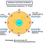 Wpływ  biopól  magnetycznych  na  organizm