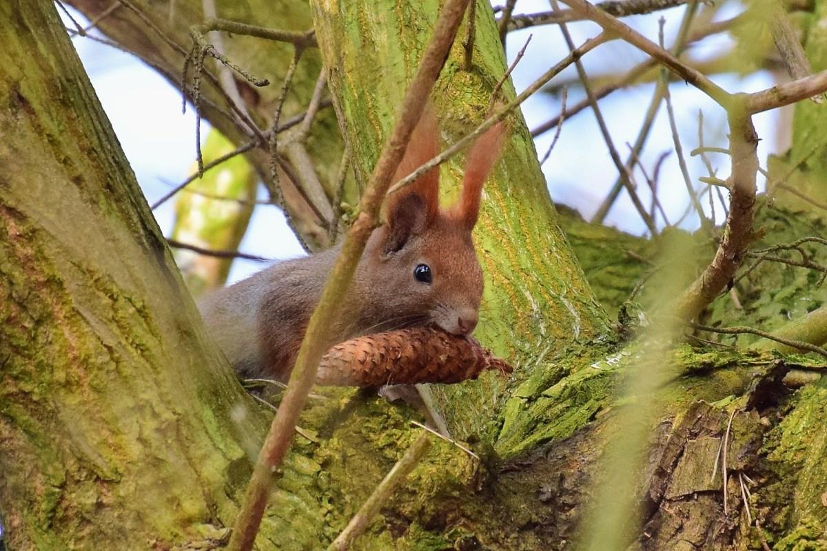 Wiewiórka na drzewie koło Sierakowa