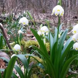 Kwitnienie śnieżycy wiosennej w Rezerwacie Śnieżycowy Jar. Zbliżenie na kwiaty.