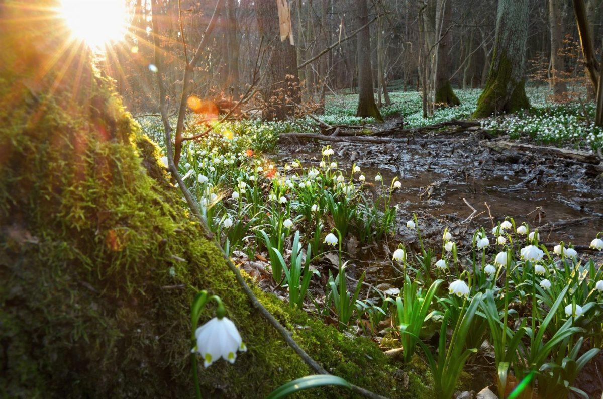Kwitnienie śniezycy w rezerwacie Śnieżycowy Jar