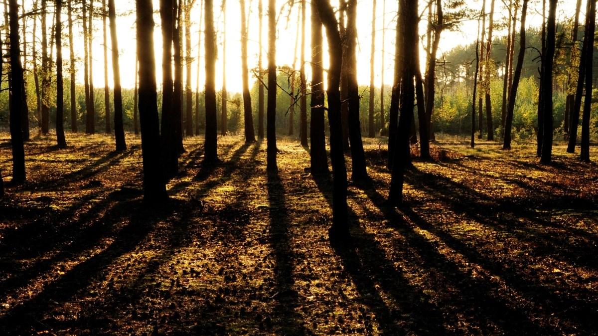 Las sosnowy o wschodzie słońca