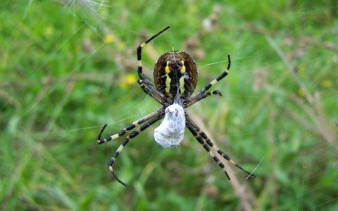 Vogelspinne: Sie spannen Netze, fangen ihre Beute darin und faszinieren – Spinnen. Bild: Christoph Baron / CC-BY / Flickr