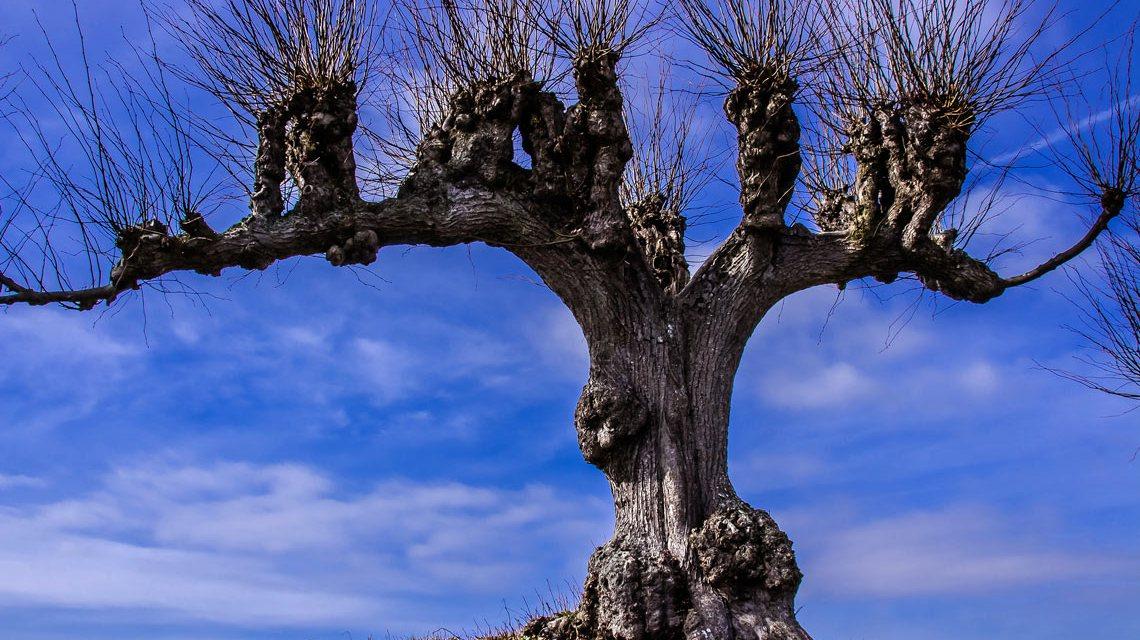 Mannshoch und kräftig ist dieser Baum. Alfred Schierholz / Flickr