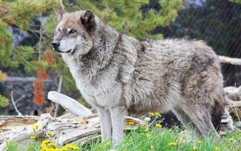 Wolfstage – Immer mehr Wölfe in Deutschland, bislang aber kein Rudel in Hessen. ©2018 Michelle-Callahan / Flickr / CC BY 2.0