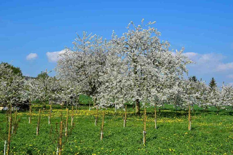 Blühende Obstbäume in Wiesbaden Frauenstein. Wiesbadner kennen sie. ©2018 Volker Watschounek