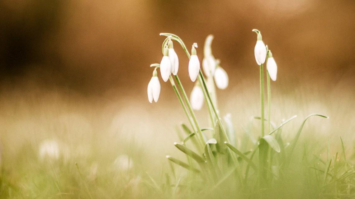 Erste Schneeglöckchen auf der Wiese. ©2019 Anja Pietsch / Flickr