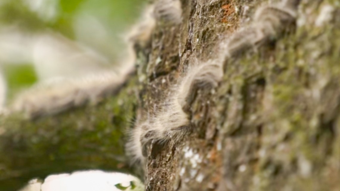Eichenprozessionsspinner jetzt bekämpfen. ©2019 BR / Gut zu Wissen / Youtube