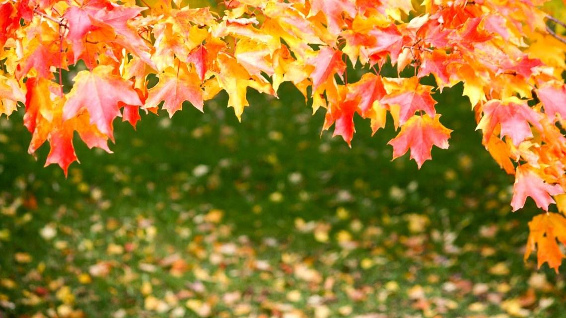 Rot-Ahorn ©2020 Bild von peng sun auf Pixabay